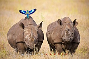 rhinos-with-lilac-breasted-roller