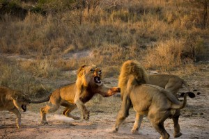 male-lion-fight