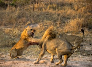 male-lion-fighting