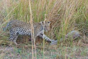 pangolin_leopard1