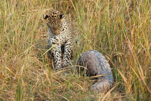 pangolin_leopard5