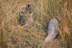 pangolin_leopard6
